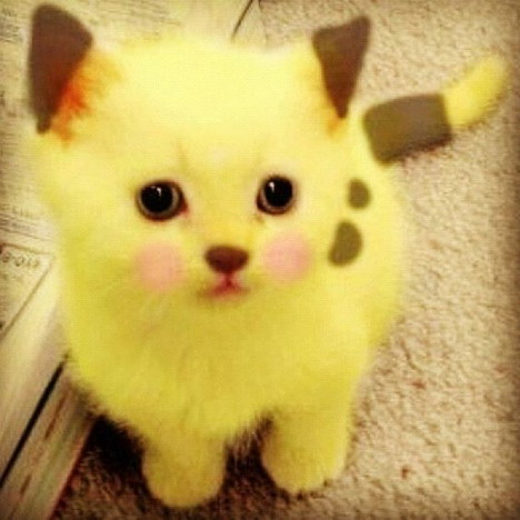 real-life-pikachu-cat-3