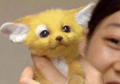 real-life-pikachu-cat-5