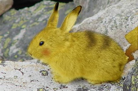 real-life-pikachu-rabbit-5