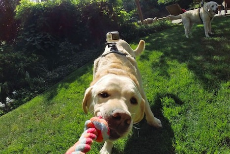 gopro-fetch-dog-harness